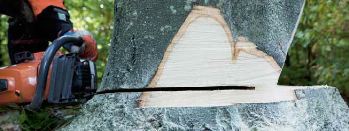 Close-up of a felling cut, slightly above the level of the bottom cut