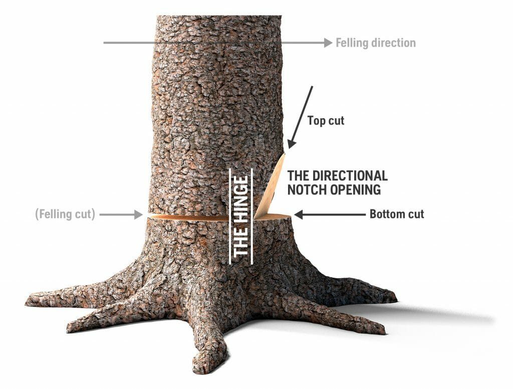 A tree with graphics showing the felling cut and how the hinge guides the tree in the preferred felling direction.