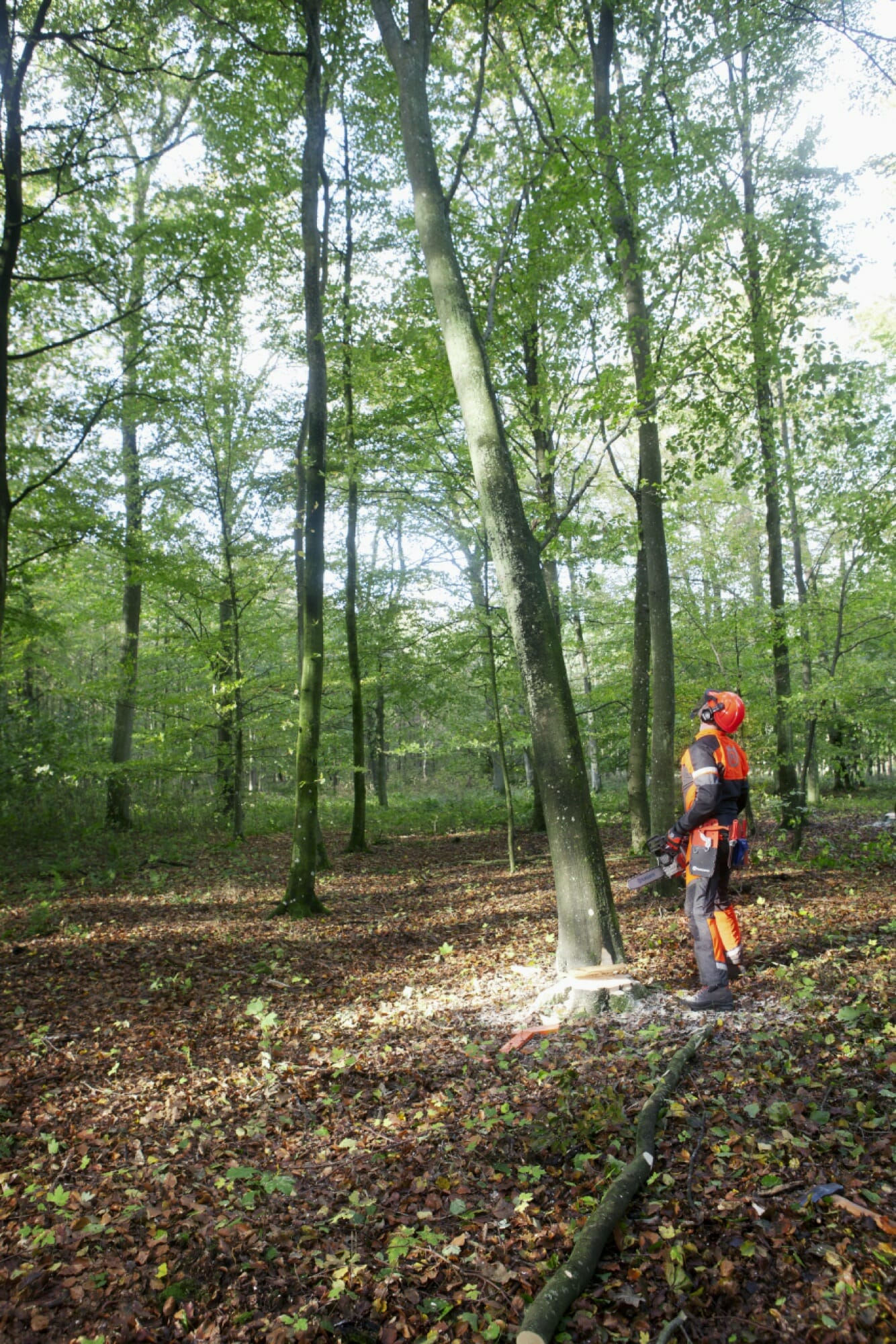 Forestry worker assessing a tree to decide in which way the tree can be rolled down