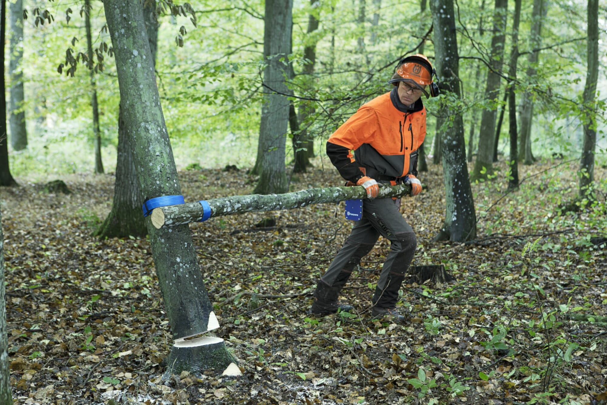 Forestry worker rolling down the tree using a turning strap attached to a branch as a lever